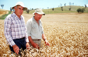 Jim Davidson and Andrew Roberts (grower) in a field of 'Lawson' near Cootamundra