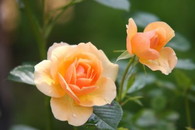 How does a rose bloom?