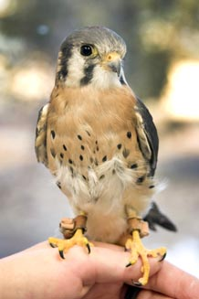 Buzz, a kestrel falcon at the Air Force Academy, poses for a photo in the Academy mews Jan. 21. Photo by Bill Evans