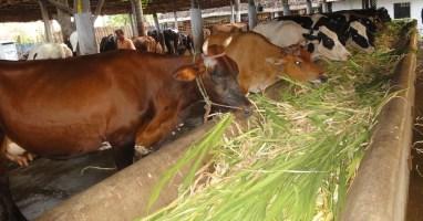 Dairycow Eating fodder