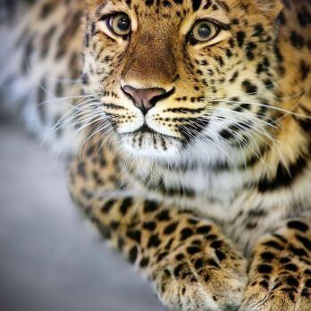 Gorgeous Amur leopard looking up towards the camera.