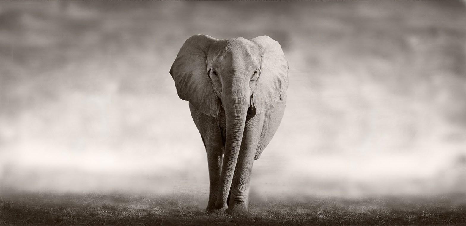CSUF Elephant