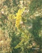Yellow Crested Weedfish (Cristiceps aurantiacus)