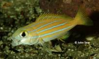 Bluestripe Sea Perch (Lutjanus kasmira)