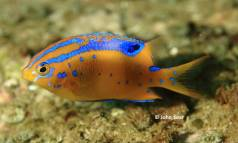 Girdled Scalyfin (Parma unifasciata) - juvenile