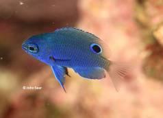 Blue-Scribbled Damsel (Pomacentrus nagasakiensis)