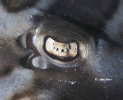 Eye of the Eastern Fiddler Ray