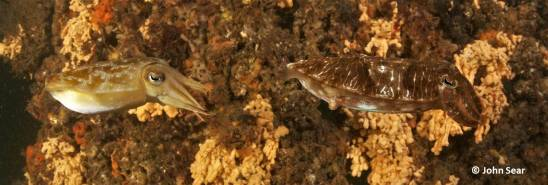 A pair of Mourning Cuttlefish