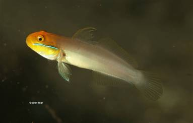 Golden-head Sleeper Goby