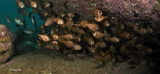 Roughies hiding under a ledge