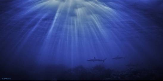 Dusky Whaler sharks patrol the seabed, lit by refraction from the sunrise