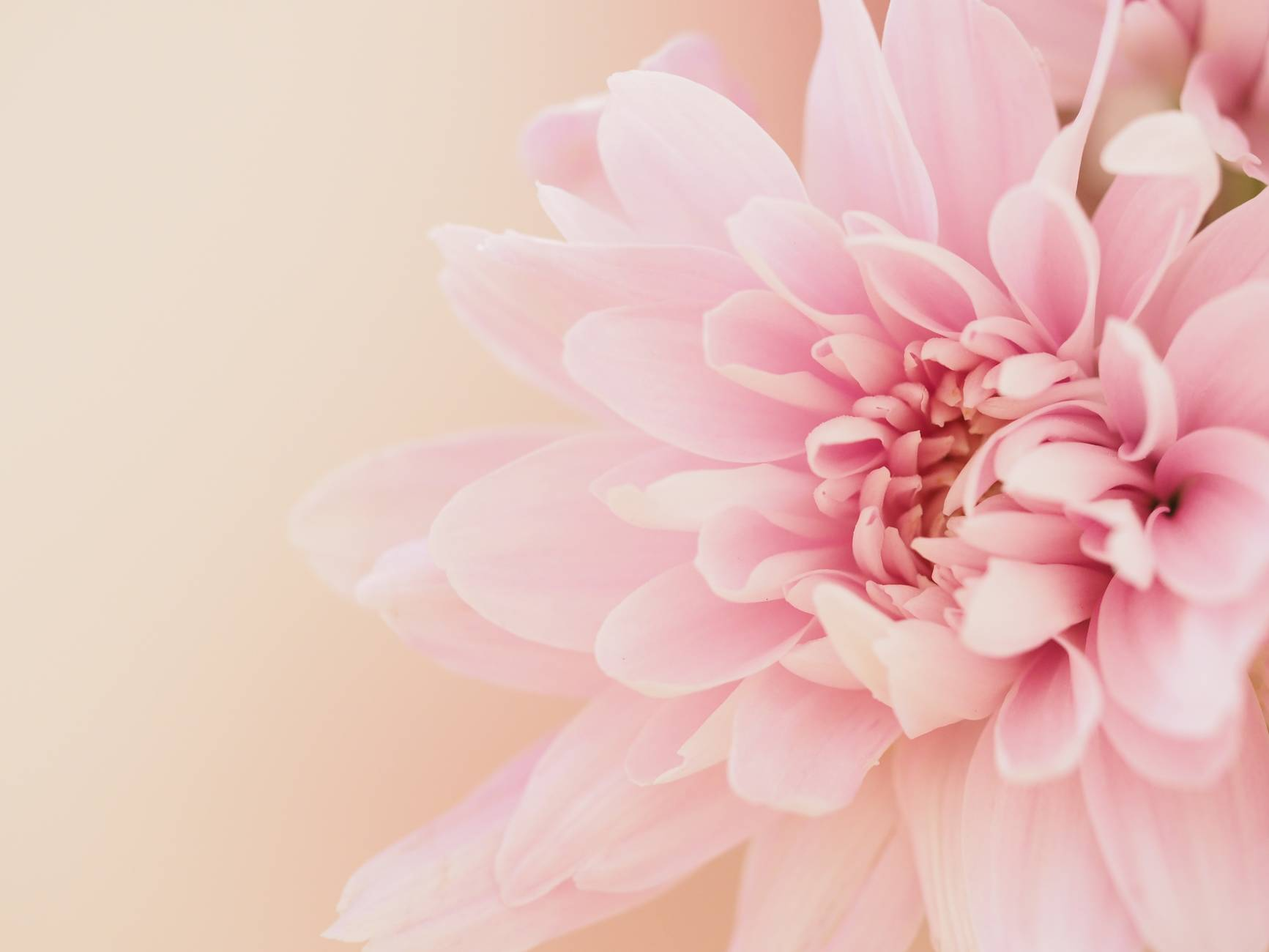 dahlia flower on light pink background