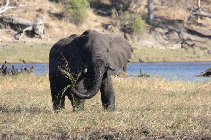 olifant slingert gras op en neer