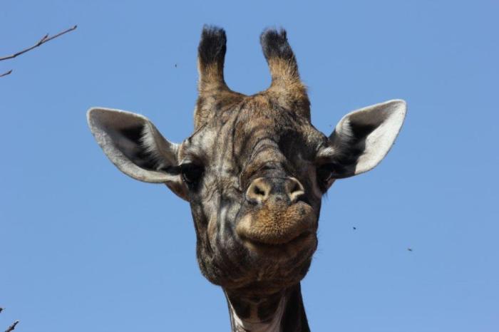 closeup van kop van giraffe