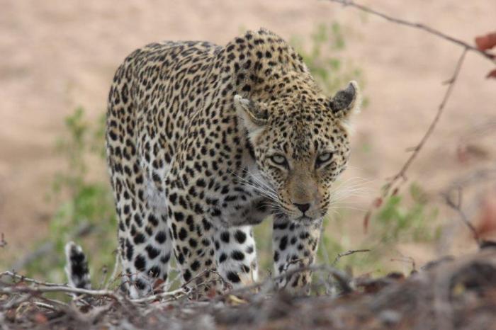 Luipaard komt recht op lens af
