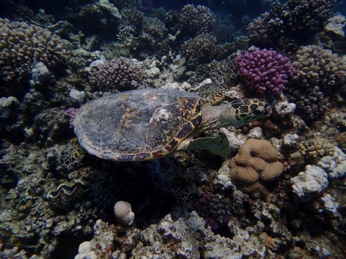 Zeeschildpad tussen koraal in Rode Zee