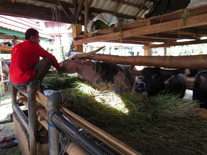 buffel op buffelmarkt
