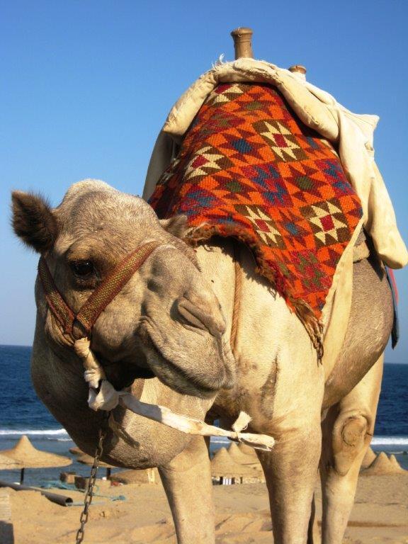 closeup van kameel