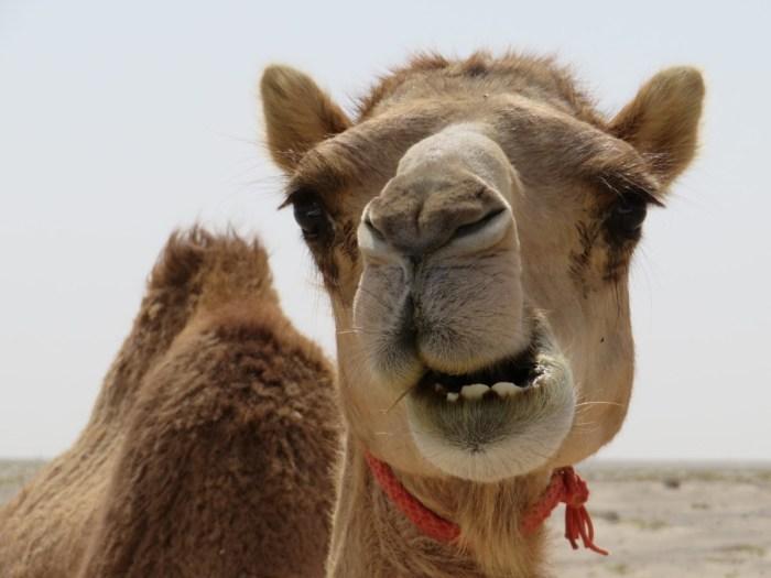 kameel oman