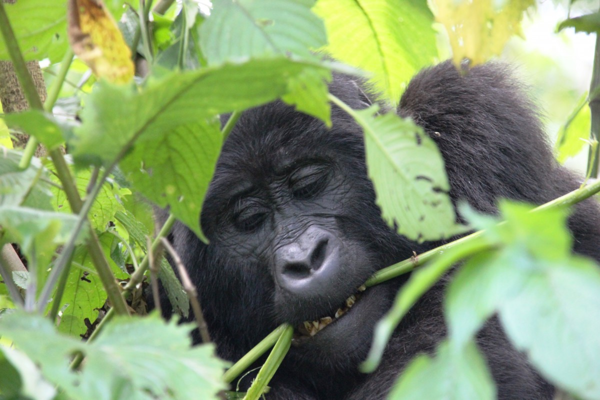 Gorilla tussen bladeren
