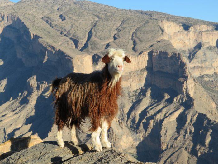 geit bij balcony Oman