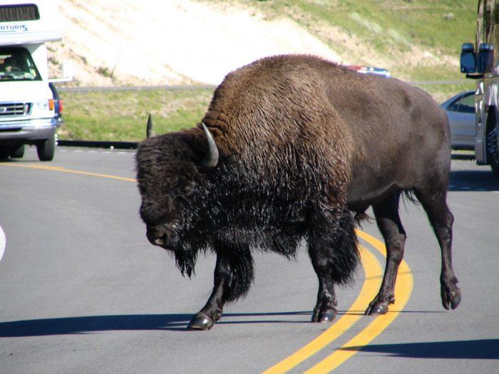 bizon op de weg