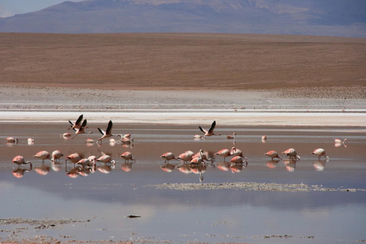flamingo's Salar de Uyuni