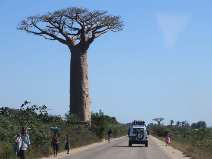 baobab en pajero