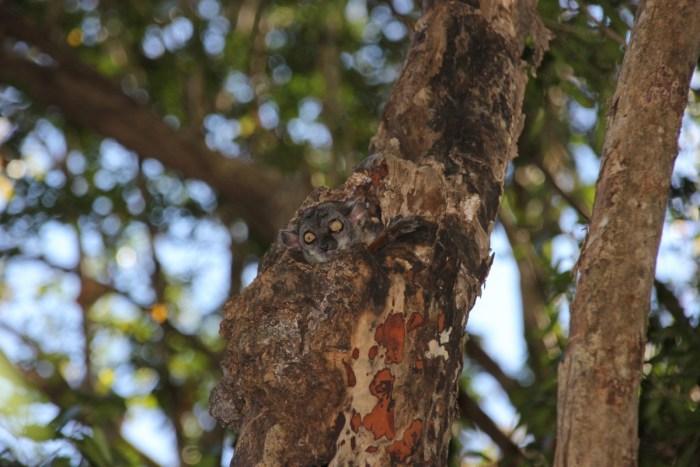kleine lemur in boom