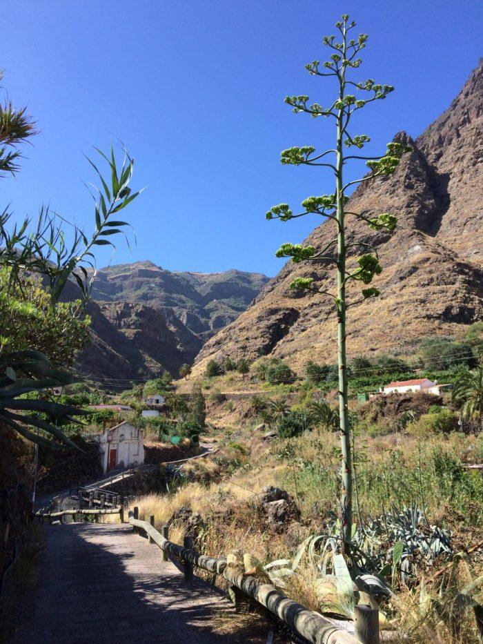 bloeiende agave's op Cran Ganaria