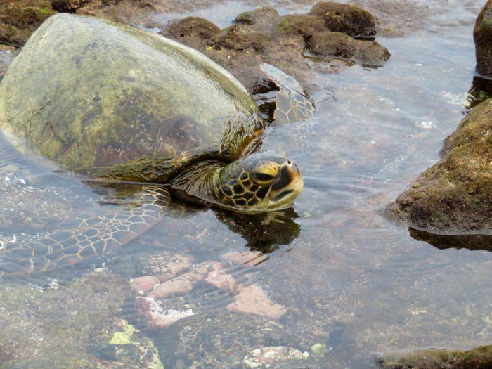 Schildpad bij Two Steps