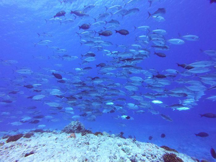 veel vis in Tikehau