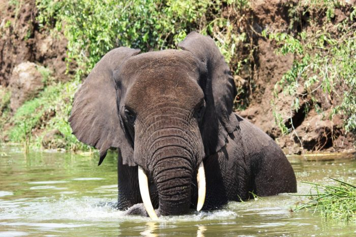olifant in rivier