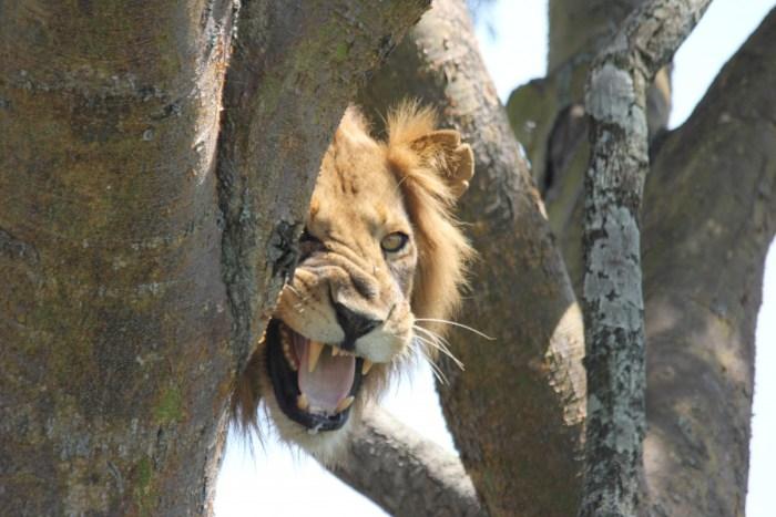boomklimmende leeuw