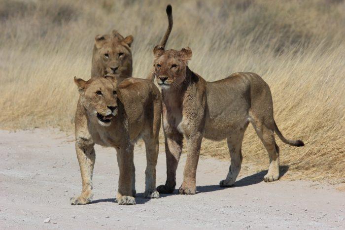 leeuwen in Etosha