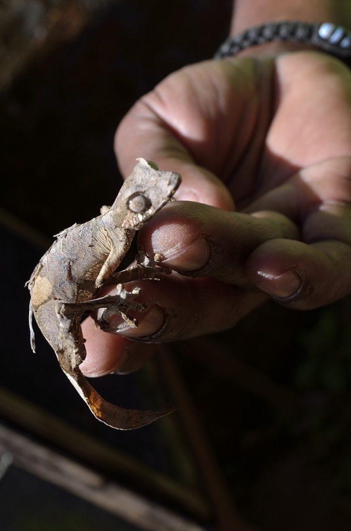 bladstaartgekko