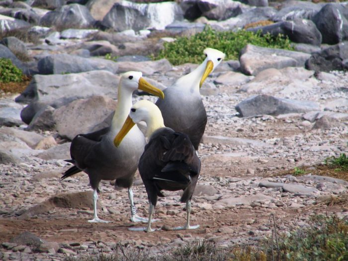 albatrossen baltsritueel
