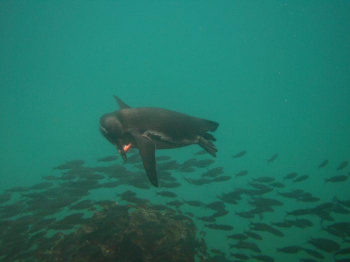 Galapagos Pinguïn