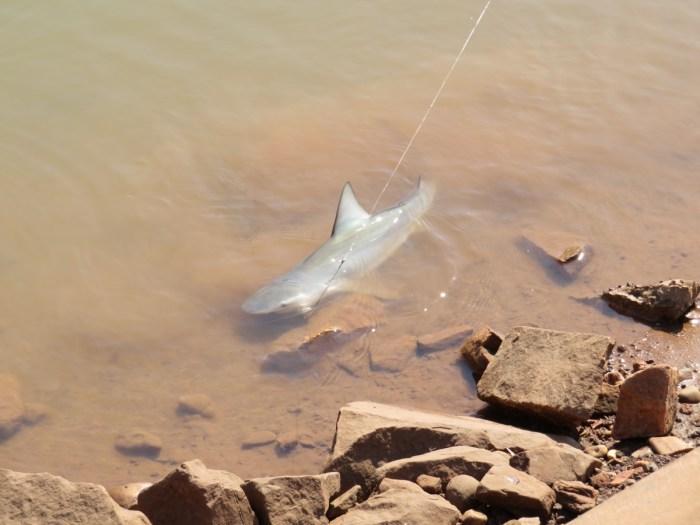 rifhaai in Vicotoria River