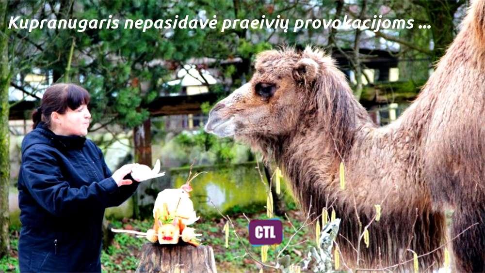 Is Kauno Zoologijos sodo pabego kupranugaris