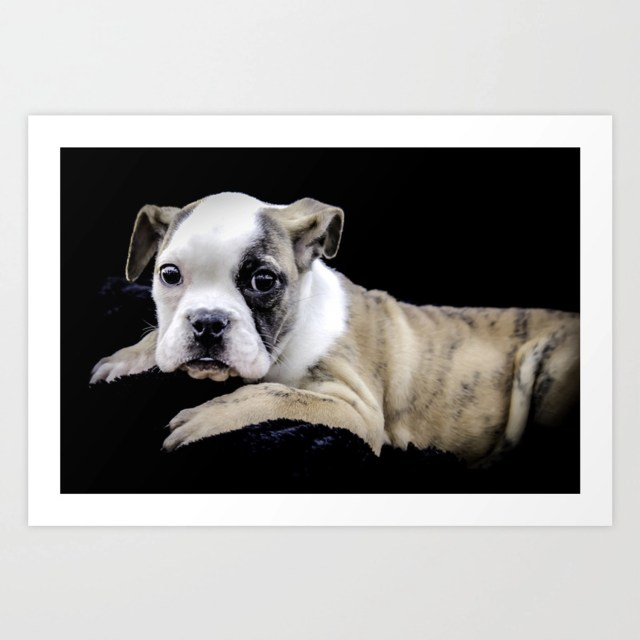 brindle english bulldog puppy looking directly at the camera while laying  on a plush black blanket art print