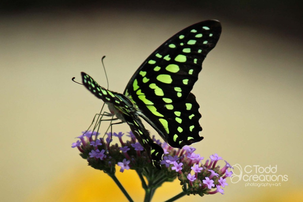 fine art print of a butterfly