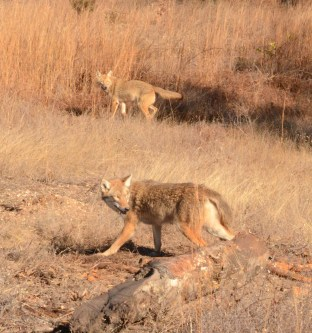 Double on coyotes, always a welcome sight on the trapline