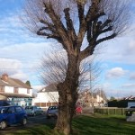 Rare Black Poplar NG9 5GD. There are a number of these within the Barracks and it is important that they are kept.
