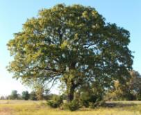 Post Oak