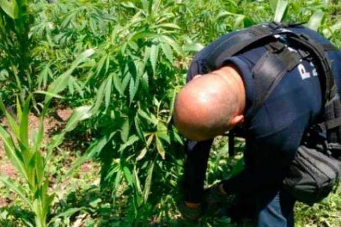 plantio-marihuana