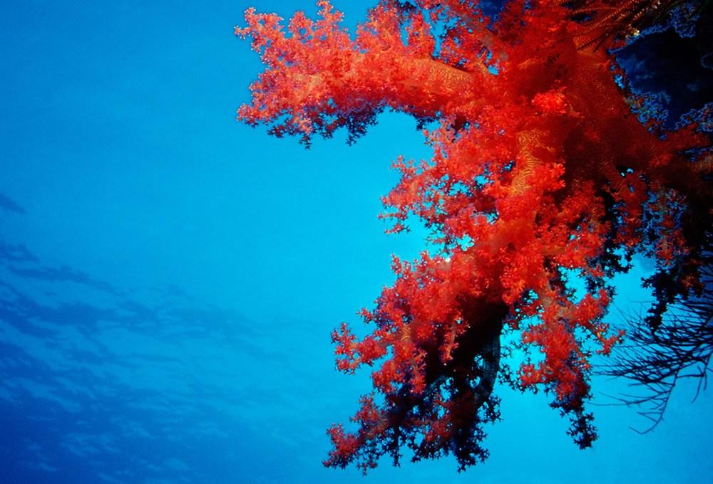 El poder del coral rojo