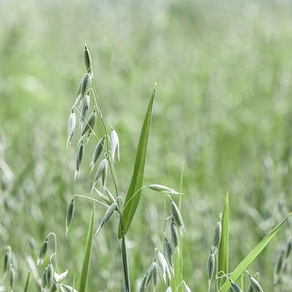 campo-de-sembrado-de-avena