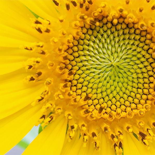 girasol natural de donde salen las semillas de girasol ecologicas naturales