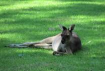australia-perth-by-kirstin-bebell-kangaroo-2012-6